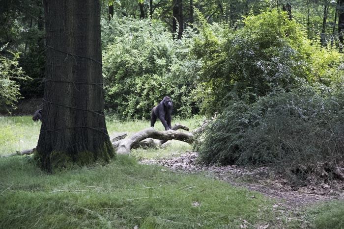 Aapjes kijken in de apenheul