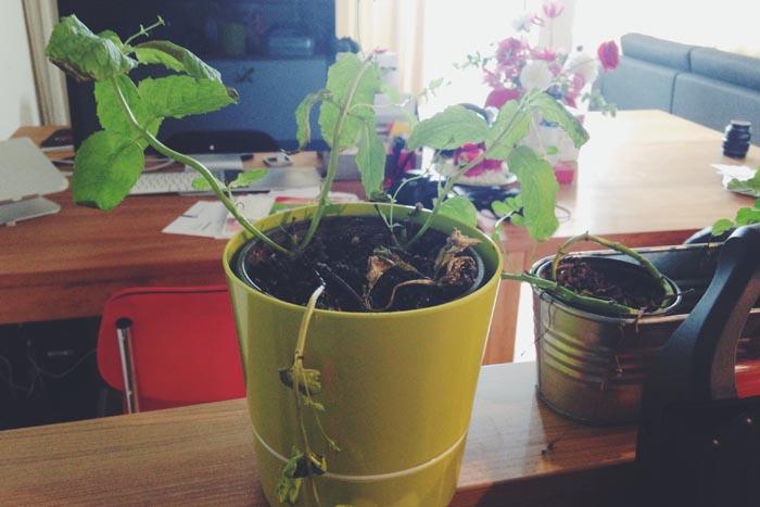 Mijn muntplantjes gaan dood