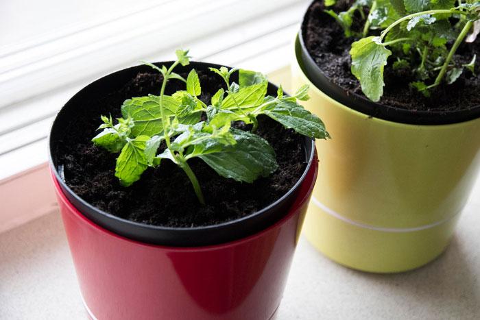 Hoe kan je een muntplant stekken