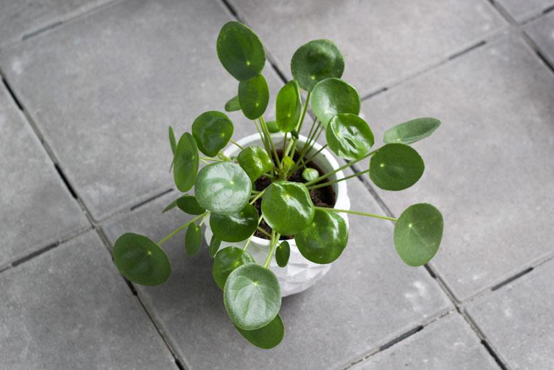 Pannenkoekplant; hoe stek je een pilea?